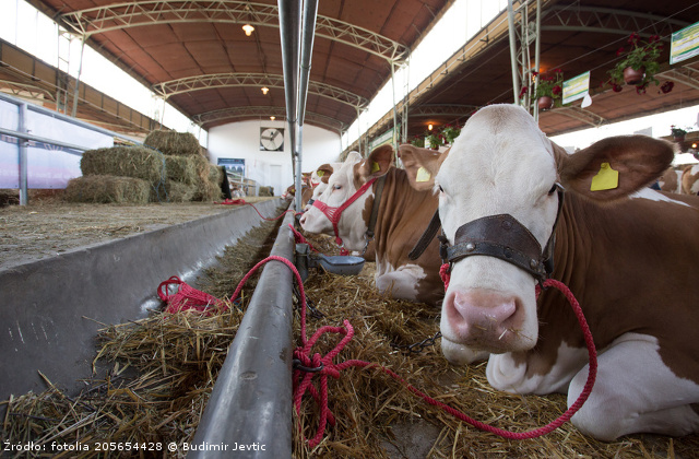 Row of Simmental cows lying on straw in cow stable